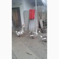Продаються чистопородні холмогорські гуси та яйця