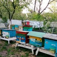 Продаю бджолопакети Карпатської породи
