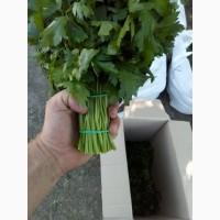 Петрушка свіжа зелена