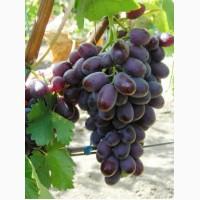 Покупаем виноград столовый оптом