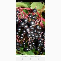 Закупаем стабильно ягоду Бузины, рябины, шиповник.Дорого. в Донецкой, запорожской обл
