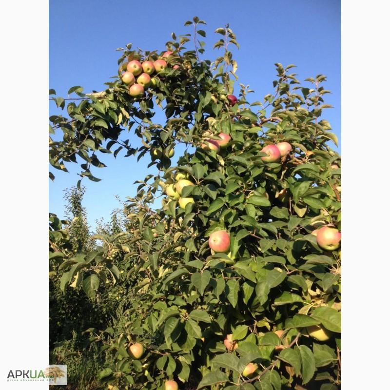фото яблоки уэлси