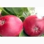 Саженцы яблони перлина киева