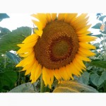 Гибрид подсолнечника, Аракар, Заклык, Лимит, Посевмат, семена подсолуха, под евролайтинг