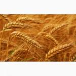 Куплю пшеницу, ячмень, кукурузу, овес, подсолнечник по Луганской обл