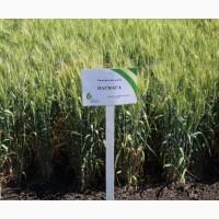 Семена озимой пшеницы - Наснага (высокоинтенсивный сорт)