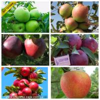 Саженцы яблони от производителя опт и розница более 65 сортов. Питомник Чудеса сада