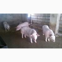 Сдам свиней живым весом