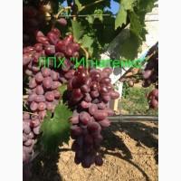 Продам саженцы столовых сортов винограда