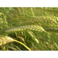 Семена ярого ячменя Одиссей, 1 реп.от Лимагрейн