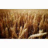Покупаем пшеницу.Возможен вывоз авто.Новый Урожай