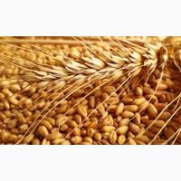 Пропонуємо насіння озимої пшениці елітних сортів врожай 2020 року