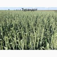 Семена озимой ранней пшеницы Турандот - 1реп. (265-275 дней)