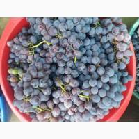 Продам виноград Изабелла Лидия