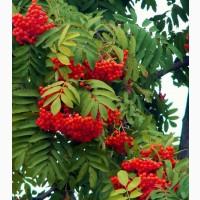 Продам сушенные ягоды рябины красной 2020 г сбора