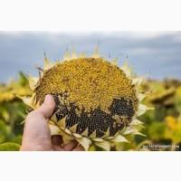 Куплю соняшник (олійний)