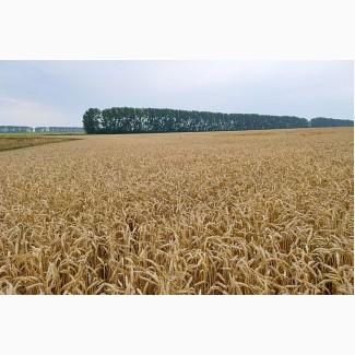 Продам посевной материал озимой пшеницы сорт Есаул (суперэлита)Краснодарская селекция