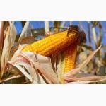 Семена кукурузи Гран 5