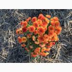Продам хризантеми 15 грн