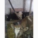 Продам ВРХ - телиця на корову