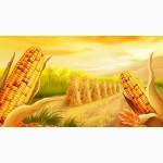 Закуповуємо кукурудзу на експорт умови DAP Ізов Польща