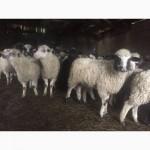 Продам баранів овець ягнят
