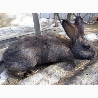 Продам кроликов Бельгийский фландр, белый великан, шиншила, разного возраста