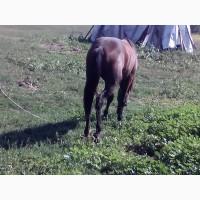 Кінь Кобила Лошадь Лошата.Продам дві лошиці