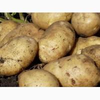 Продажа Картофеля оптом, 100 кг