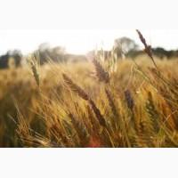 Купуємо пшеницю.Можливий вивіз авто.Урожай 2019