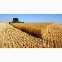 Куплю Пшеницу с места по Полтавской обл