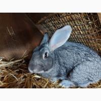 Продам молодого кролика