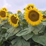 НАСІННЯ соняшника, кукурудзи, цукрового буряка