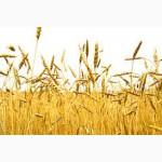 Продаем семенную пшеницу Смуглянка Илиас 1-я