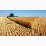 Закупаем пшеницу фураж и 3 класс по Винницкой обл
