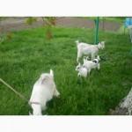 Продам 2 козы с 2 козлятами