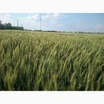 Продам качественные семена озимой пшеницы ВЕРДЕН
