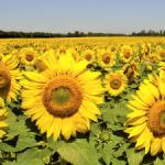Продам семена подсолнечника Богдан, под евро-лайтинг, стандарт