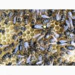 Матки Карпатка 2018 Бджоломатки (Пчеломатка, Бджоломатка, Бджолині матки)