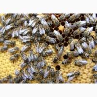 Продам бджоломатки Карпатської породи Вучківського типу
