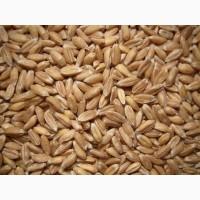 Купляєм жито