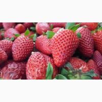 Продам ягоды клубники Мурано, Клери оптом