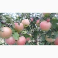 Продам яблоки летние Граф Эззо.Опт