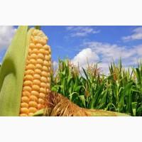 КУКУРУДЗА ОНІКС (ФАО 350) / Насіння Кукурудзи | За вигідними цінами