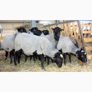 Меринос овцы