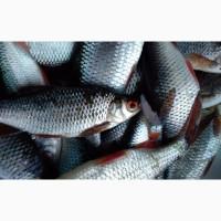 Продам живую рыбу Карась лещ, судак, тарань лещ карп