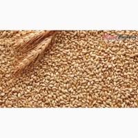 Куплю Пшеницу с места по Днепропетровской обл