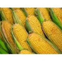 Насіння кукурудзи сорту марсель-н