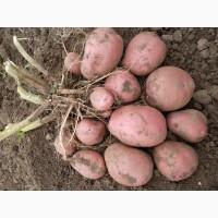 Продам картофель, сорт Манифест