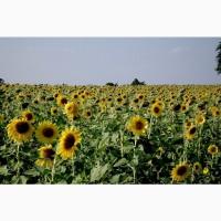 Подсолнечник урожая 2020-2019 купим